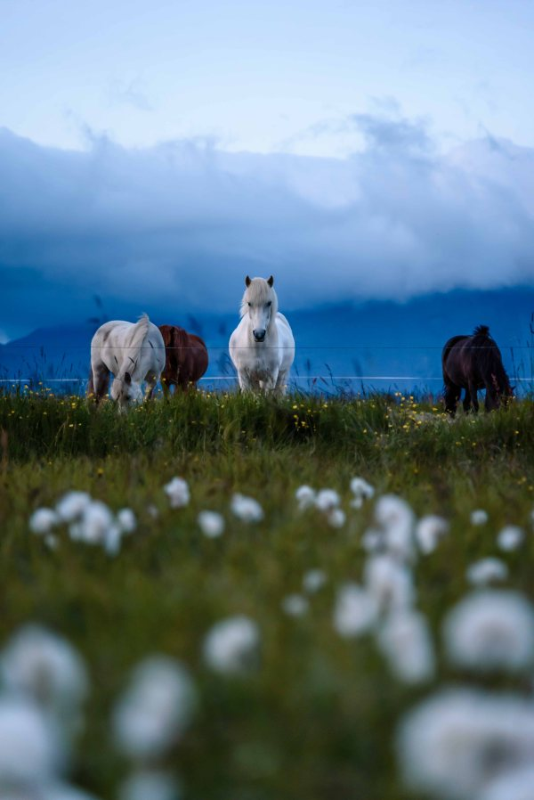 neilson travel photography iceland horses landscape cotton bolls
