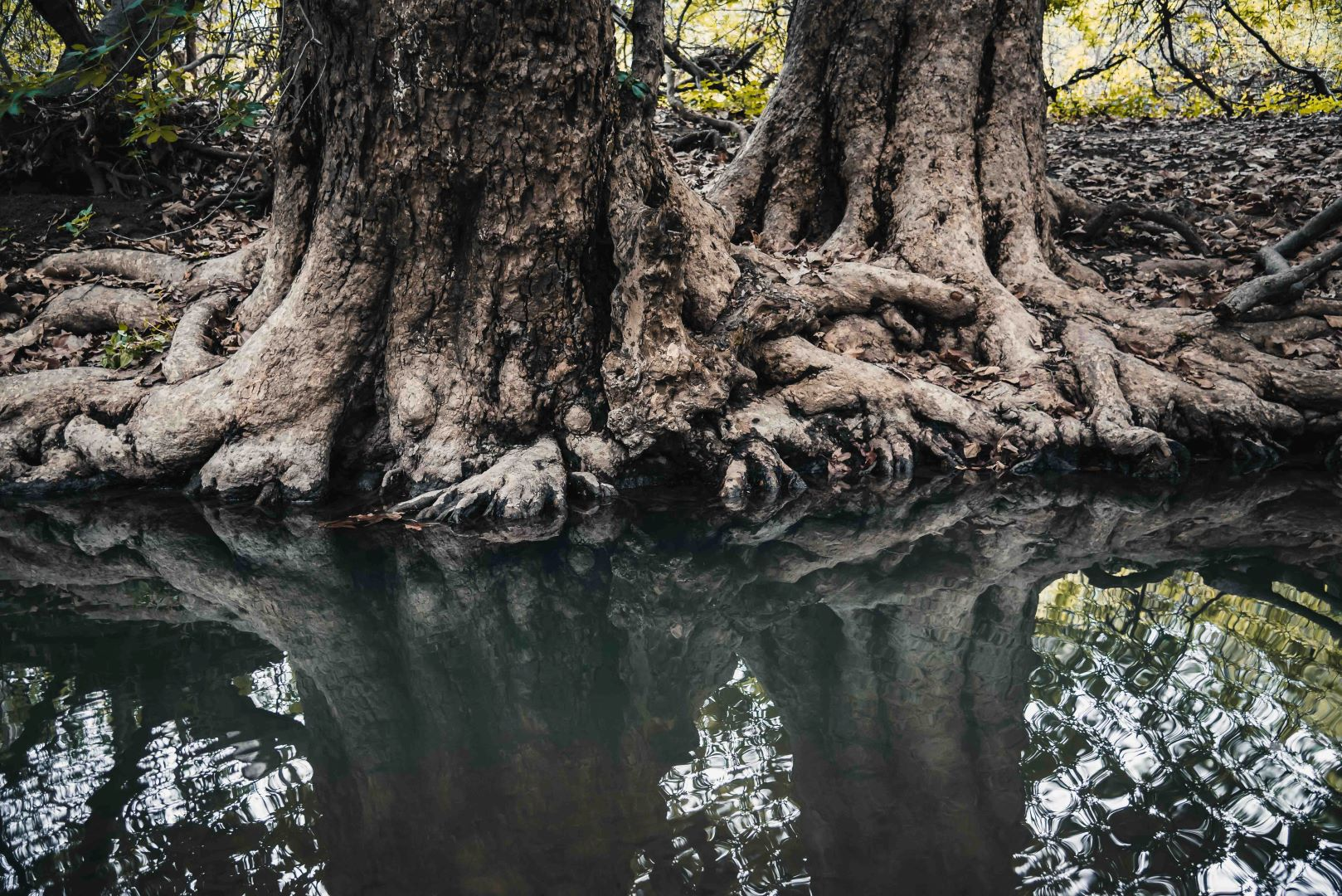 neilson photography bay area cupertino mcclellan ranch preserve entanglement roots trees