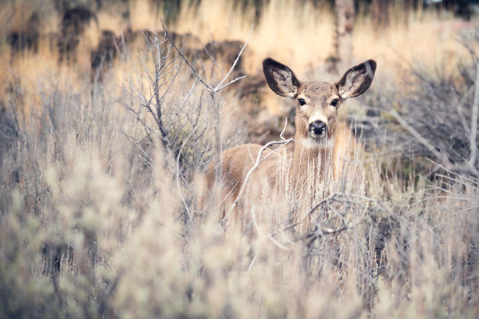 bend oregon sawyer park pale yellow grass deer