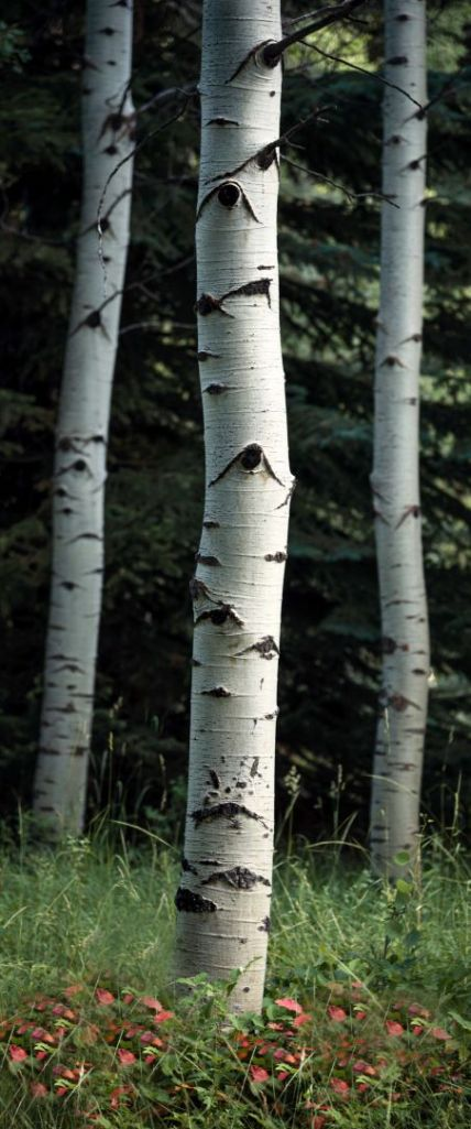 landscape photography utah wasatch mountains aspen three trees