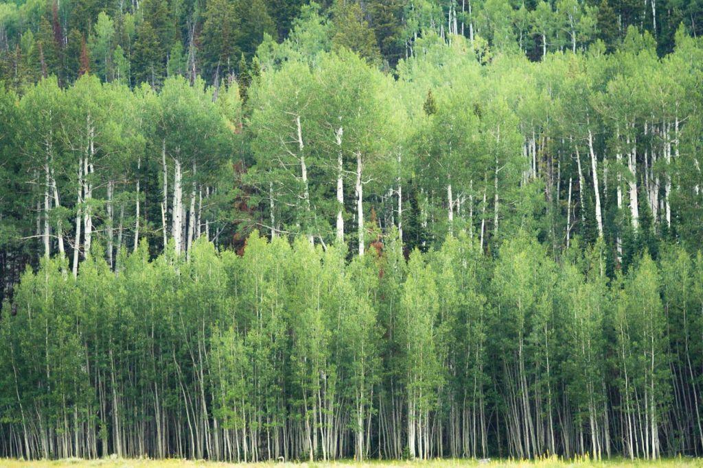 landscape photography phalanx of aspen wasatch range utah